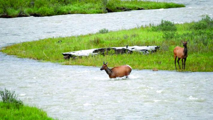 While the allocation meeting proceeded inside, just across the highway a herd of cow elk and their calves struggled to negotiate the Gallatin River. Then as the meeting let out, some who attended drove over to watch as cow elk braved the water to be reunited with their young.