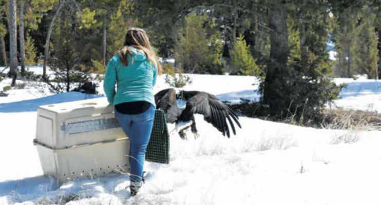 """Edgar """"Eddie"""" the Eagle shows his wingspan as he prepares to fly to freedom three weeks to the day after he reportedly shattered a windshield on Hwy. 191. PHOTO BY JANA BOUNDS"""