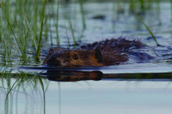Beaver swimming in Bunson Peak Pond: In this photo from 2004, the photographer set up at the water's edge and waited more than an hour for the busy beaver to come within range in very dusky conditions.