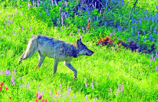Collared wolf in flowers: This wet, lone wolf appeared in a patch of flowers not far from the author's truck while he was driving up Dunraven Pass after a night of rain showers.