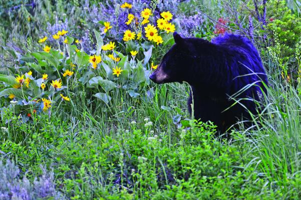 Black bear in flowers: This black bear was spotted along the road near Tower Junction one evening and eventually moved into a patch of flowers and paused for the perfect look.