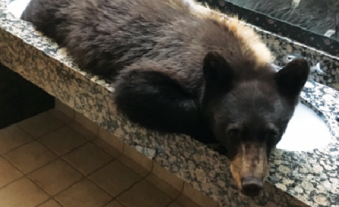 The Buck's T4 black bear hanging out in the bathroom.  PHOTO COURTESY OF DAVID O'CONNOR/BUCK'S T4