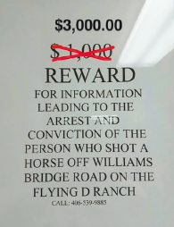 The reward for MJ's killer jumped from $1,000—put up by the Flying D's Equine Manager Greg Pole—to $3,000 once word got out on social media. The additional $2,000 came from strangers in Colorado and Florida who were so appalled by the crime they opened their checkbooks. The whole ordeal with MJ recalls an incident a number of years ago when two men drinking at Stacey's in Gallatin Gateway reportedly made a bet that one of them couldn't kill a bull bison with a .22. That wager apparently led to the wanton de