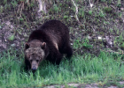 Visitors to Yellowstone National Park safely see a grizzly bear from their cars in 2019. PHOTO BY JANA BOUNDS